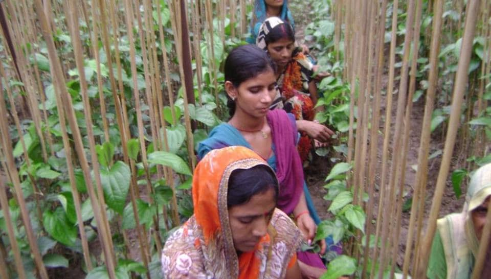 Rising costs, lack of subsidy force Bharatpur's betel farmers to migrate