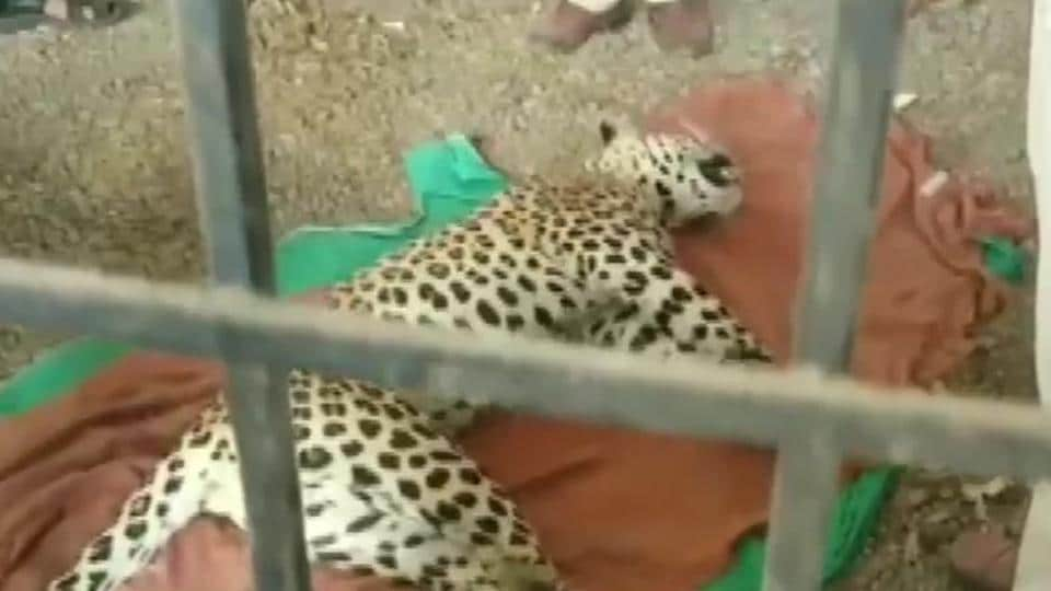 A sub-adult leopard was beaten to death by villagers in Malhargarh tehsil of Mandsaur district on Monday after it attacked two villagers