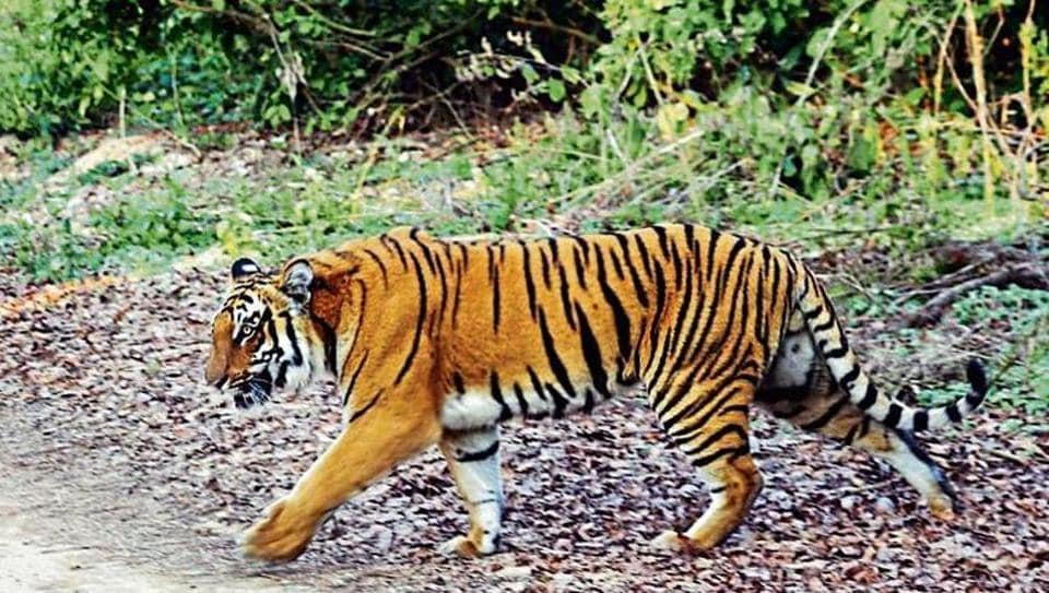 corbett tiger reserve,poaching in corbett,tiger poaching incidents in corbett