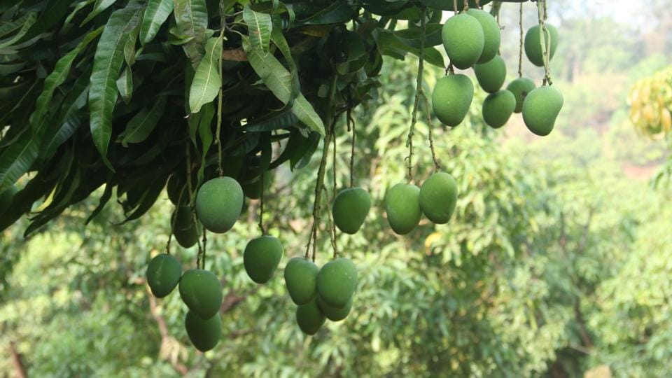 Not so aam after all: How Alphonso orchards clean your air of CO2