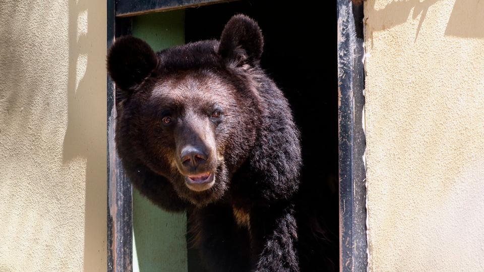 A black bear peeps outside its room, at the sanctuary. Sukkar (sugar in Arabic) and Loz (almond) are Asian black bears, now aged nine, who were trapped by war in the Magic World Zoo outside Syria's Aleppo, and were rescued and brought to the sanctuary in the summer of 2017. (Khalil Mazraawi / AFP)