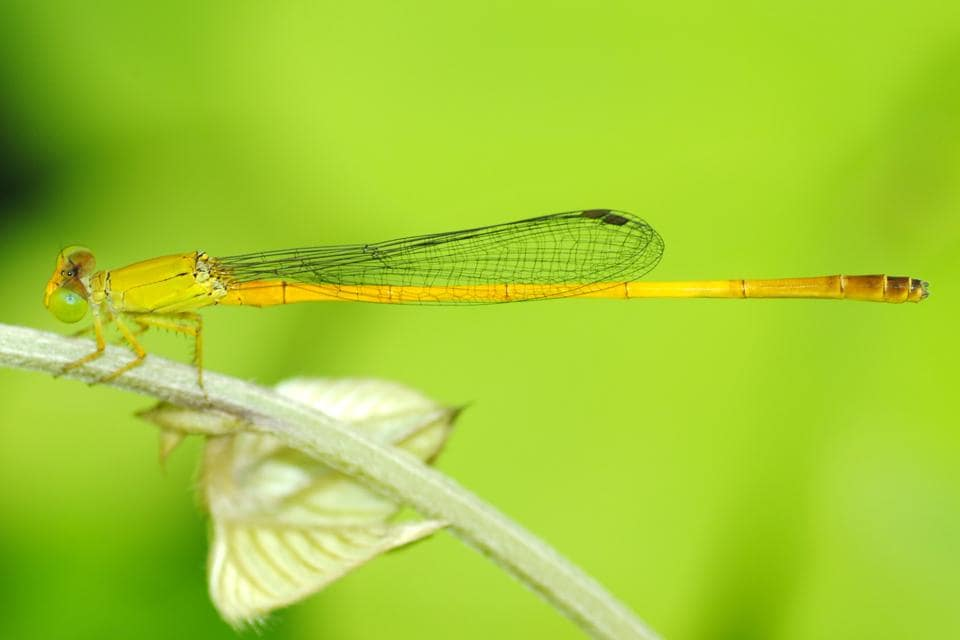 Sindhudurg marsh dart (Ceriagrion chromothorax) is the latest addition to the endemic species of the damselfly family.