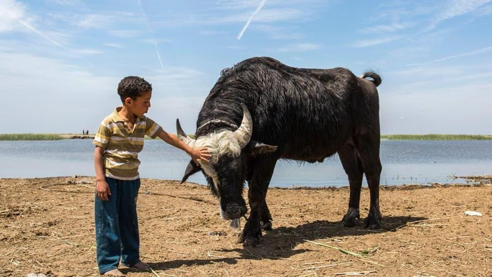 "A boy pets cattle by the marshes. ""The water returned, and with it normal life,"" said 35-year-old Mehdi al-Mayali, who raises water buffalo and sells their milk, used to make rich cream served at Iraqi breakfasts. Wildlife including the vulnerable smooth-coated otter, Euphrates softshell turtles, and Basra reed warbler have returned to the marshlands -- along with the pickiest of all species: tourists. (Hussein Faleh / AFP)"