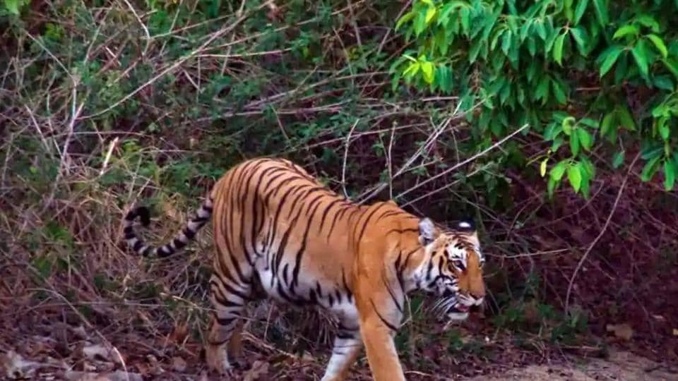 The Corbett Tiger Reserve has one of the highest tiger densities in the world.
