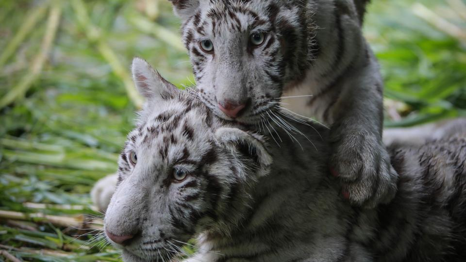 A couple of white tiger cubs are the new guests of the National Zoo of Nicaragua, which has a population of 400 animals of 90 species, according to park sources.
