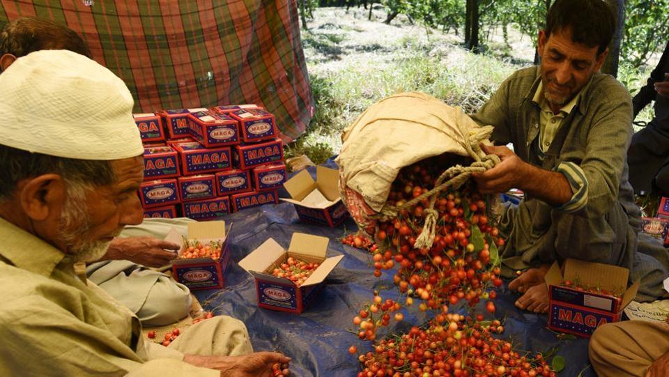 Kashmir,Cherry blossoms,cherry farmers