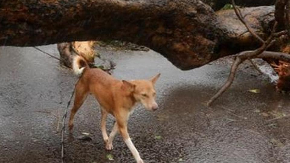 A dog saved his owner's life by forcing a tiger to retreat in Seoni district of Madhya Pradesh