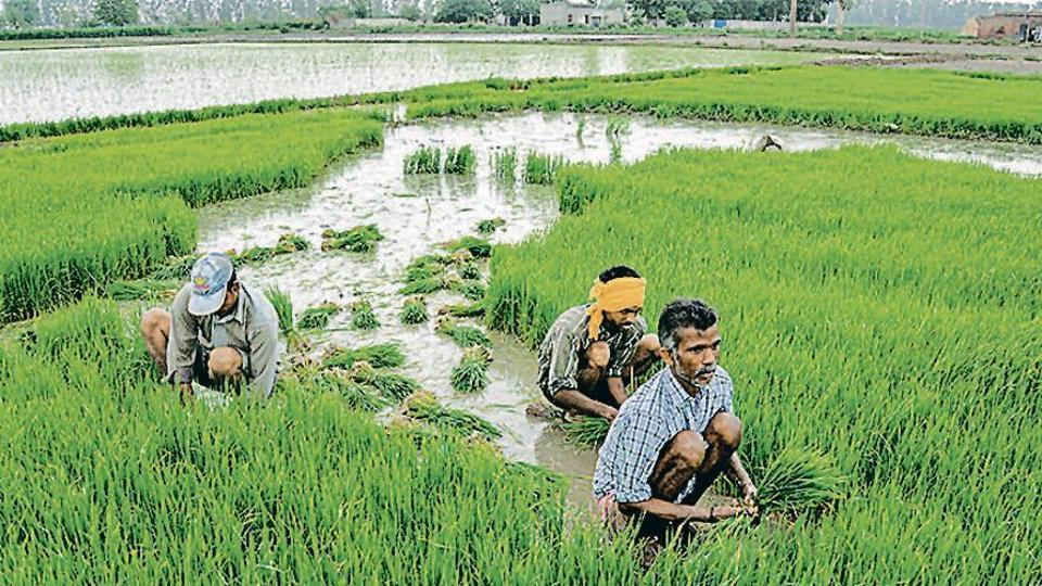 Over 96% of the 35.78 billion cubic metre groundwater extracted is used by paddy growers, according to Punjab's agriculture department.
