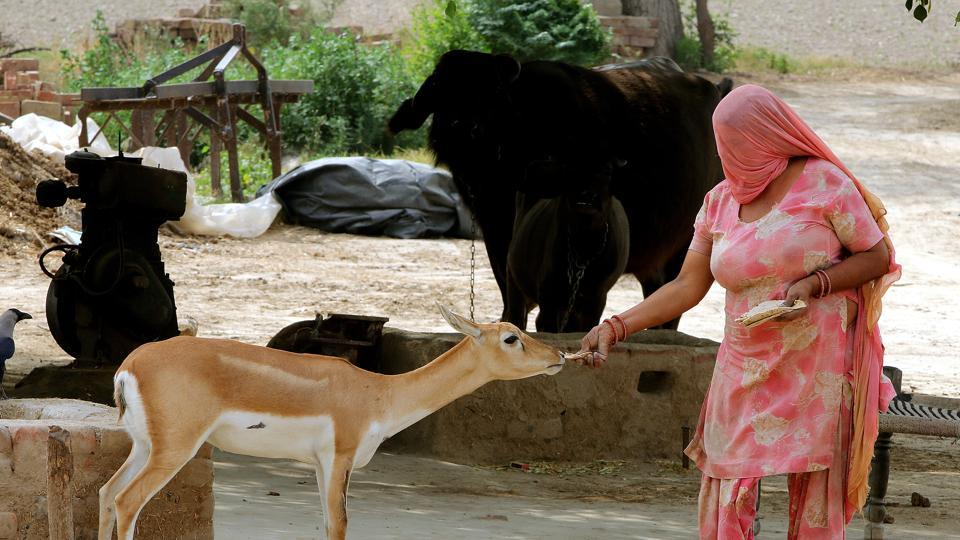 A Bishnoi woman offers food to a blackbuck at Datarwali village in the Abohar wildlife sanctuary.