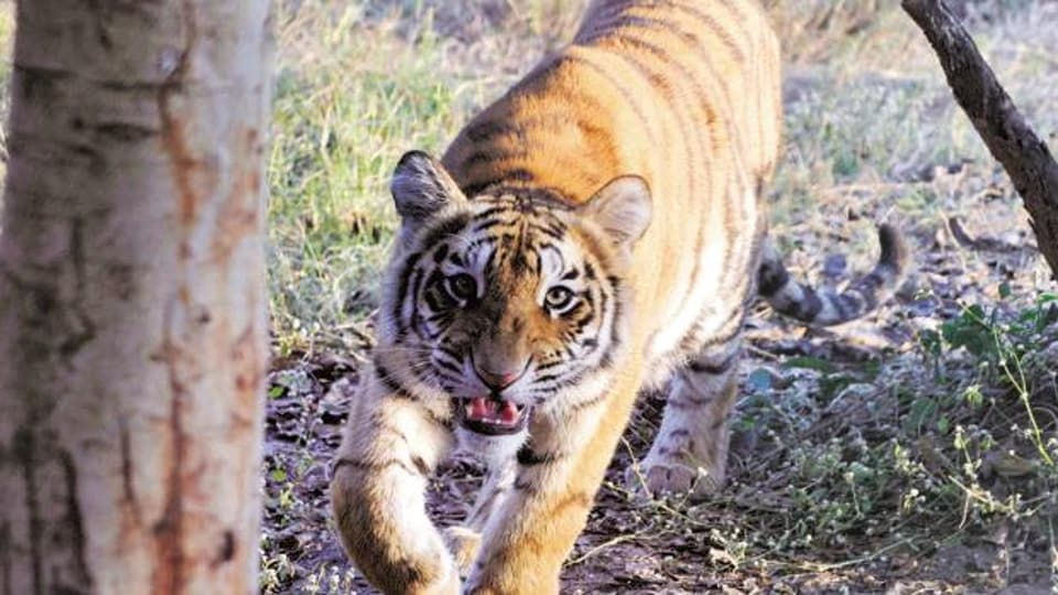 The post-mortem examination has, however, been put off till experts from the National Tiger Conservation Authority (NTCA) and the Indian Veterinary Research Institute, Bareilly, arrive on Sunday.