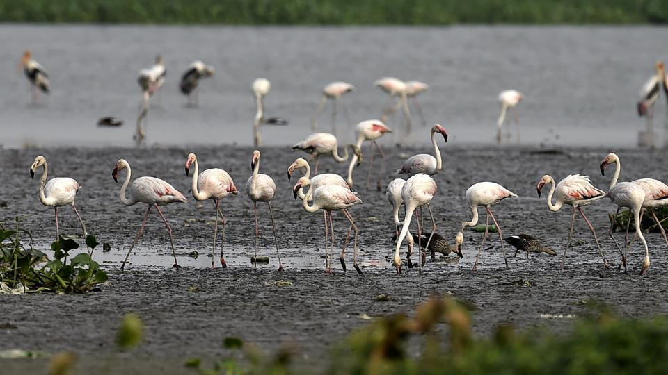 A swarm of more than 150 Greater Flamingo has arrived at the national capital region's Okhla Bird Sanctuary in Noida.