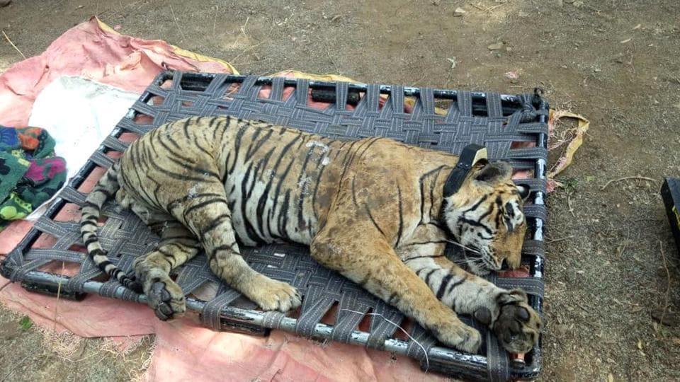 STR,sariska tiger reserve,tiger ST-16 dead