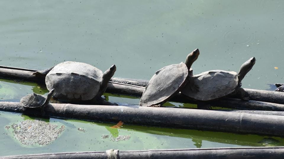 Turtles rest on a bamboo platform in a pond at Hayagriva Madhava temple in Hajo, some 35 kms from Guwahati, Assam. The black softshell turtle is officially extinct in the wild, but a centuries-old temple and its nature-loving caretaker are helping the creature make a tentative comeback. It was declared extinct in the wild in 2002 by the International Union for Conservation of Nature, while the Indian softshell turtle and the Indian peacock softshell turtle are classified as vulnerable. (Biju Boro / AFP)