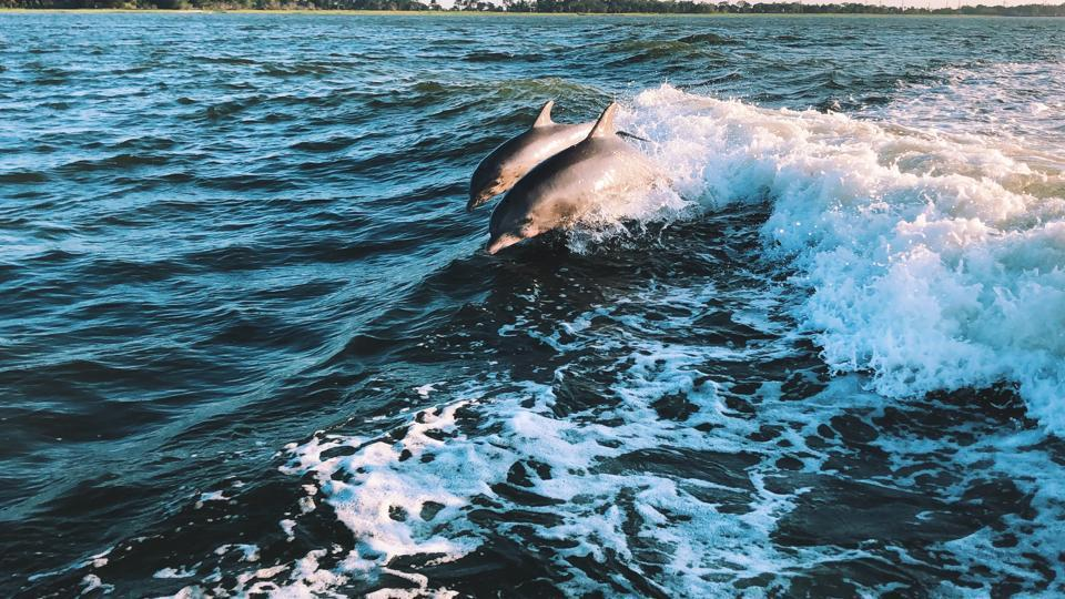 Like their female counterparts and indeed like humans, male dolphins form social bonds based on shared interests.
