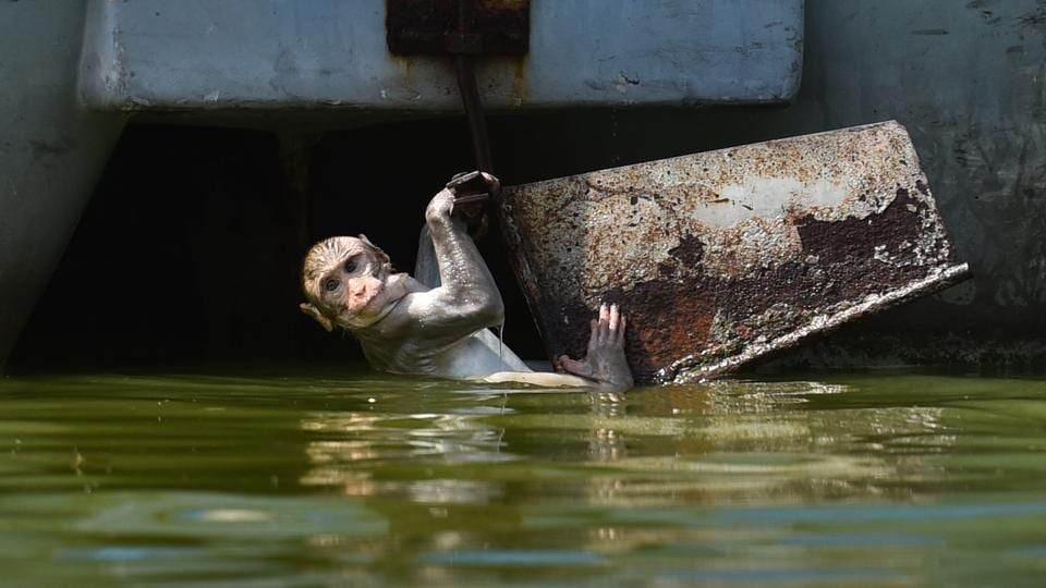 A macaque monkey seen playing on a hot day at Boat Club in New Delhi. (Sanchit Khanna / HT Photo)