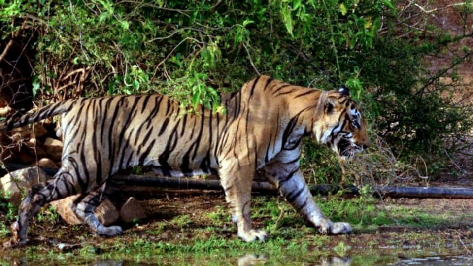 Tiger ST 16 in Sariska before its death