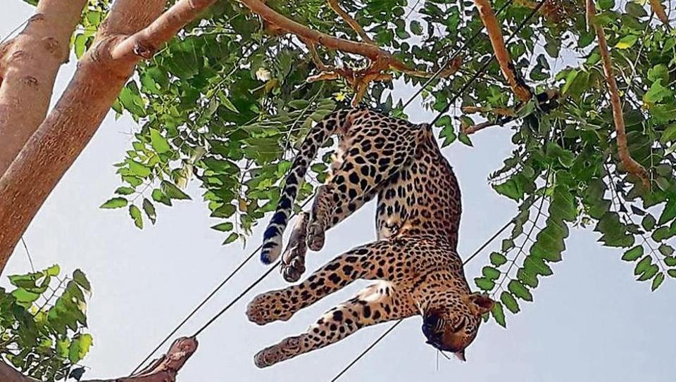 2-year-old leopard, stuck in power cables in Gurugram
