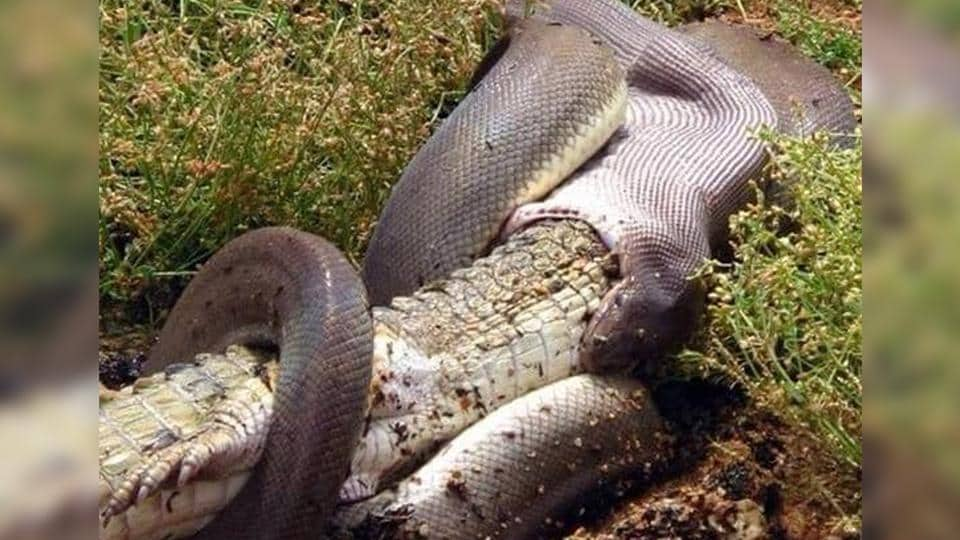 Crocodile,Python,Facebook