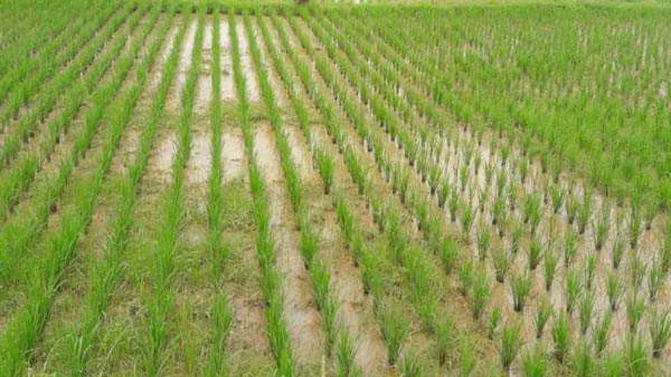 A report available with the agriculture department shows that of the total 75 districts, 51 districts have received only scanty rainfall that is below 40% of the normal, while seven districts are still waiting for the rains to hit them.