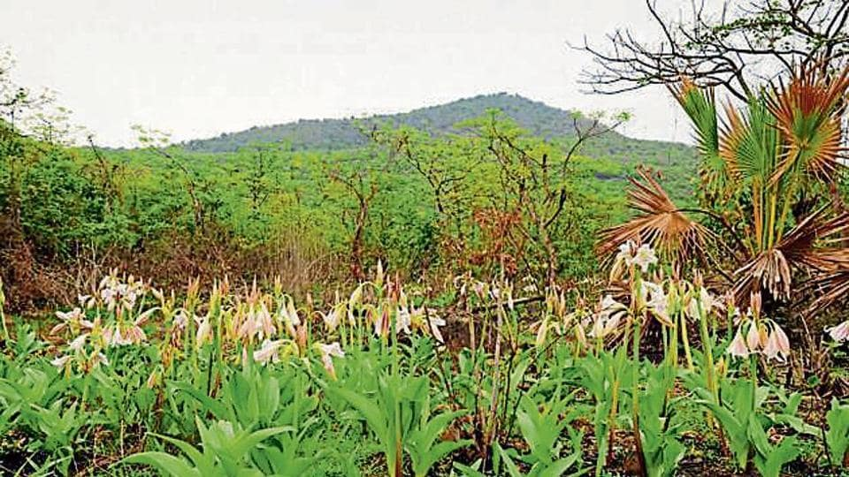 These pink-striped trumpet lilies vanished before most of Mumbai had even woken up to the rains.