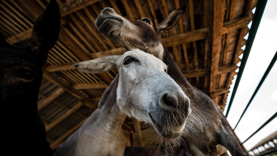 Donkey milk has low levels of casein -- a type of protein that acts as a binding agent in cheese-making. But a staff member at Zasavica discovered that portions of donkey milk could be mixed with some from goats in order to craft the crumbly mounds of cheese. (Andrej Isakovic / AFP)