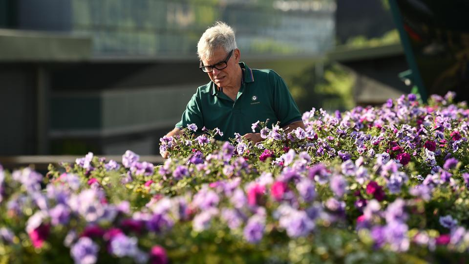 Wimbledon gardener Christopher McCarron puts the finishing touches to a display at The All England Tennis Club, ahead of play on the first day. (Glyn Kirk / AFP)