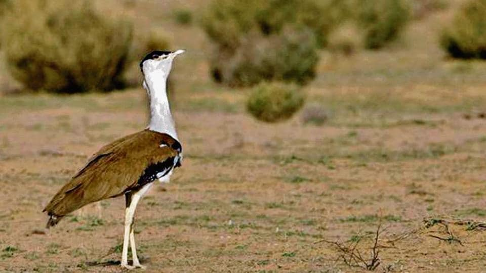 Rajasthan forest minister Sukram Bishnoi said six eggs were collected at the Jaisalmer centre to create a so-called founder population of the Great Indian Bustard in the state, and that from these six, a chick has been successfully hatched artificially.