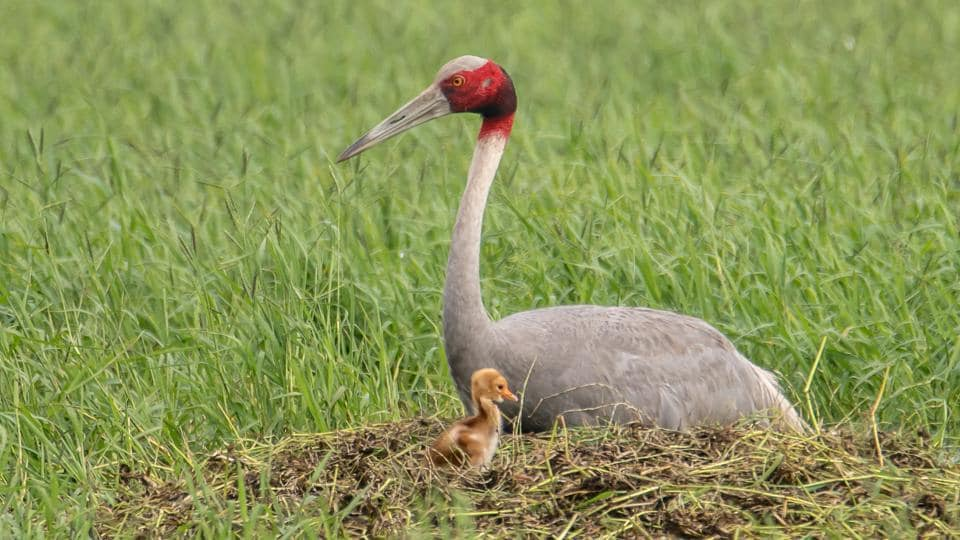 A Sarus crane with a chick at Dhanauri wetland. Some birders consider the species as one of the best predictors of monsoon.