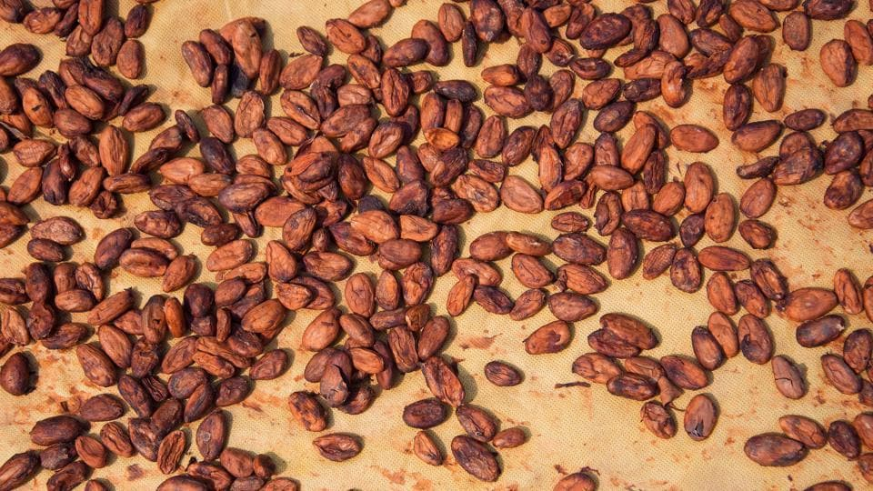 Cacao beans in process.