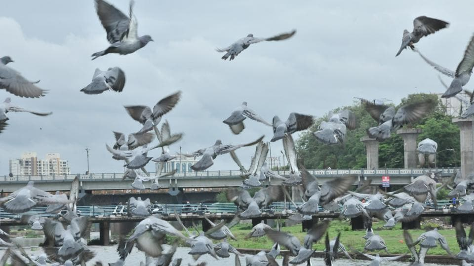 Various civic officials have raised concerns about the increase in population of pigeons in the city. The PMC is now mulling to fine those whose feed pigeons. Pigeons at Deccan riverside.