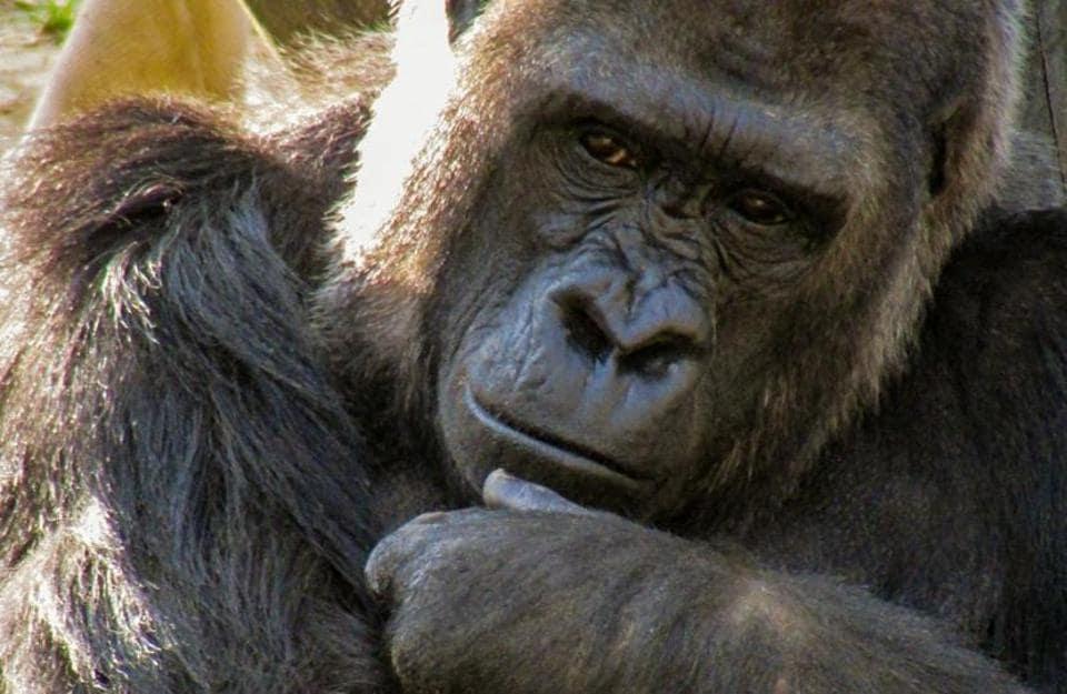 Just like humans, gorillas form social bonds