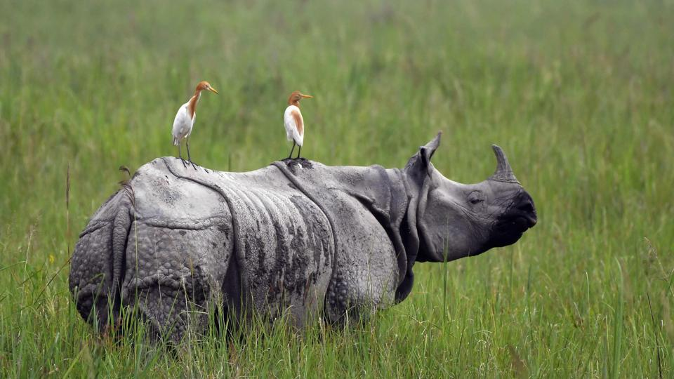 Egrets sit on a grazing one-horned rhinoceros in Kaziranga National Park, some 220 km from Guwahati. The monsoon may bring respite from the scorching heat, but for the rangers and animals at Kaziranga National Park it also brings danger as poachers take advantage of greater camouflage and flooding. (Biju Boro / AFP)