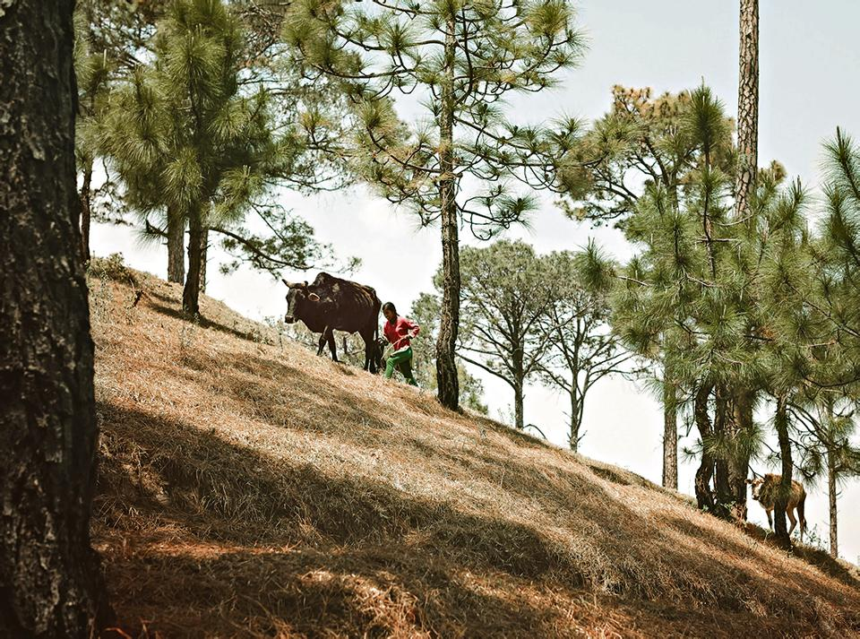 A woman leading cattle through the hills of Kumaon in Uttarakhand.
