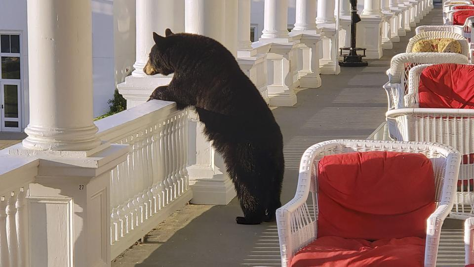 A black bear peers over a railing on the back veranda at the Omni Mount Washington Resort.