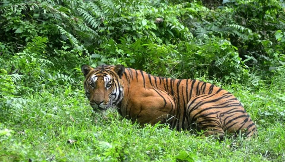 A 23-year-old forest watcher was mauled to death by a tiger in Kalagarh area of Corbett Tiger Reserve