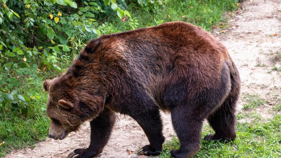 It's not clear how the bear got past an electrified fence, then scaled a nearly 4-meter (13-foot) high barrier.