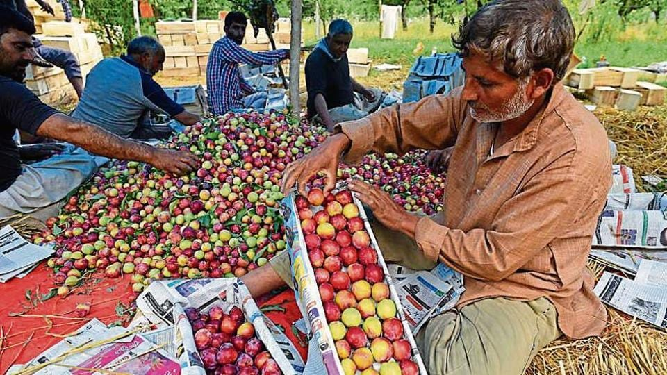 Farmers packing plums in boxes for sale at an orchard on the outskirts of Srinagar on Thursday, July 18, 2019.