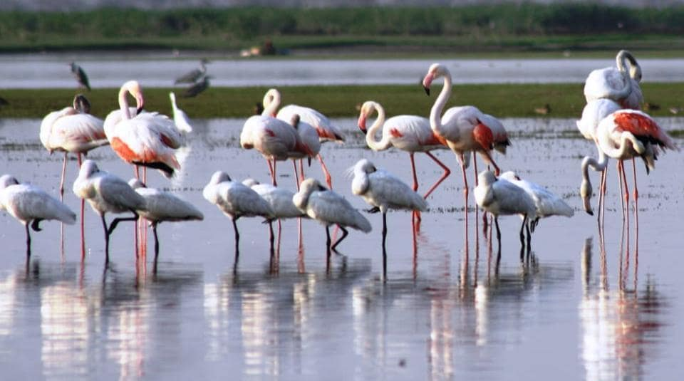 Migratory birds, such as flamingos and storks flock to the wetlands in Vasai and Virar during the monsoon, say experts.