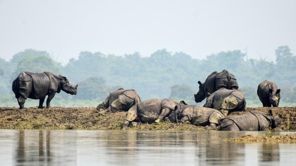 One-horned rhinos rest on a highland in the flood affected area of Kaziranga National Park in Nagaon district in Assam.