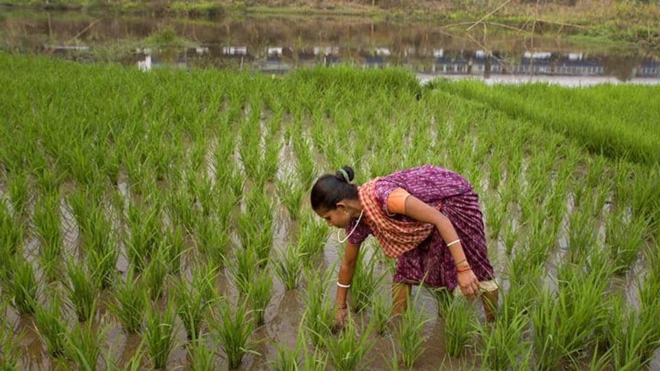 A committee of secretaries (CoS), formed under directions of the PM, to look into agriculture and related matters, is set to emphasise on the need to cut down on water usage on crops, especially paddy and sugar-cane, in its report to the cabinet secretary. (AP file photo)