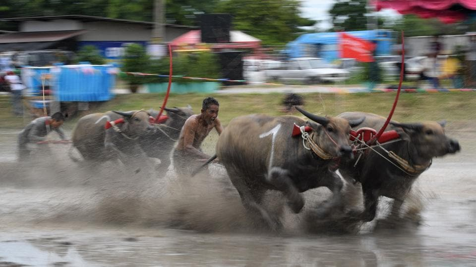 Water buffaloes participate in a race in Chonburi.