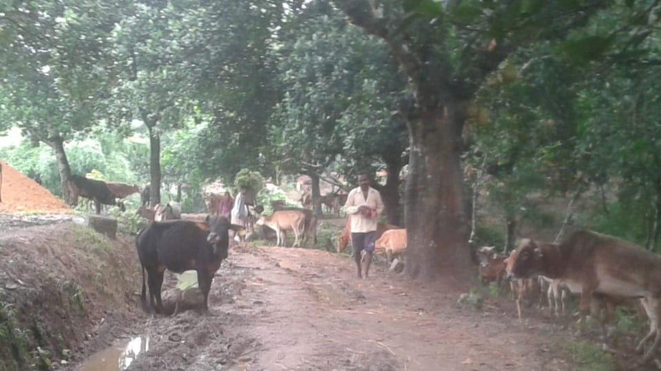 Rescued cows at a cattle shelter in Tripura's Sepahijala district.