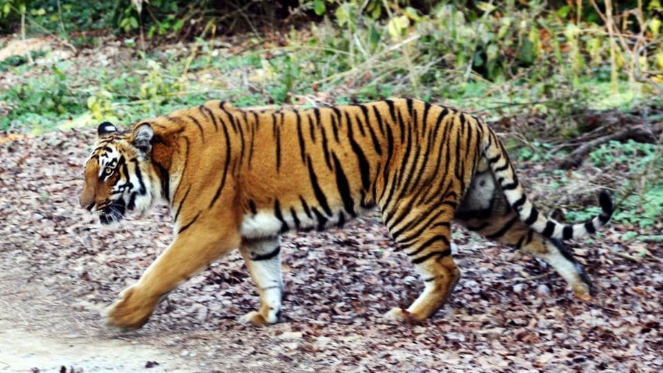 The Madhya Pradesh forest department is working on resolving the issue of tiger deaths due to accidents and poaching. They plan to declare Ratapani sanctuary a tiger reserve.