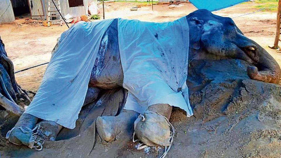 The 55-year-old elephant Lakshmi has been suffering from severe foot infection and age-related ailments for over four months at Aamdanda area of Corbett.