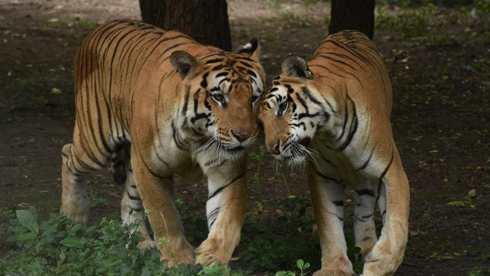 Prime Minister Narendra Modi on Monday released the All India Tiger Estimation Report 2018, and said India has emerged as of one of the biggest and safest habitats for big cats in the world. According to the report, the tiger population has grown from 2,226 in 2014 to 2,967 in 2018.