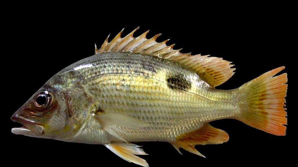 John's Snapper or Golden snapper (Lutjanus johnii) is one of the species that was identified as commercially and ecologically important for the mangrove biodiversity under the study.