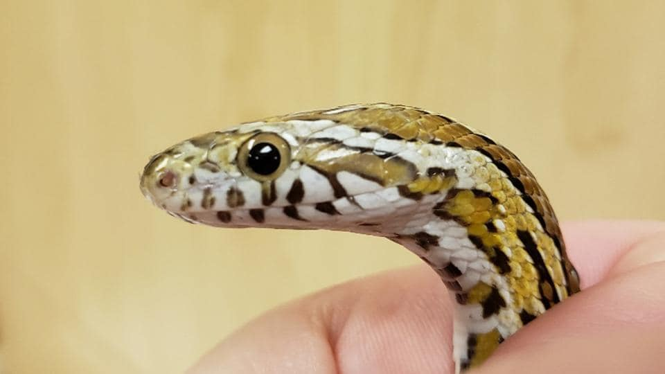 In a bizarre incident a man bit a snake into pieces after the reptile attacked him on Sunday night