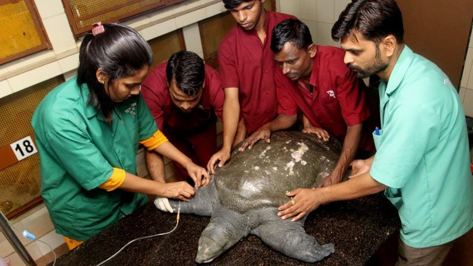 The turtle is being treated at SPCA hospital, Thane.
