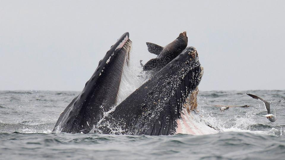 A wildlife photographer has captured a sea lion falling into the mouth of a humpback whale.