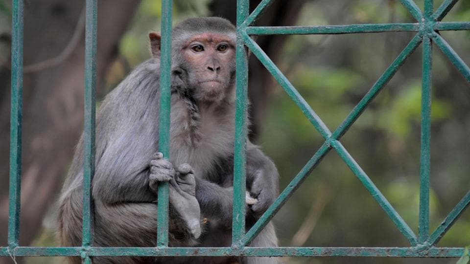Monkey menace is a routine affair in the streets of Agra. It recently took the life of a 55-year old.